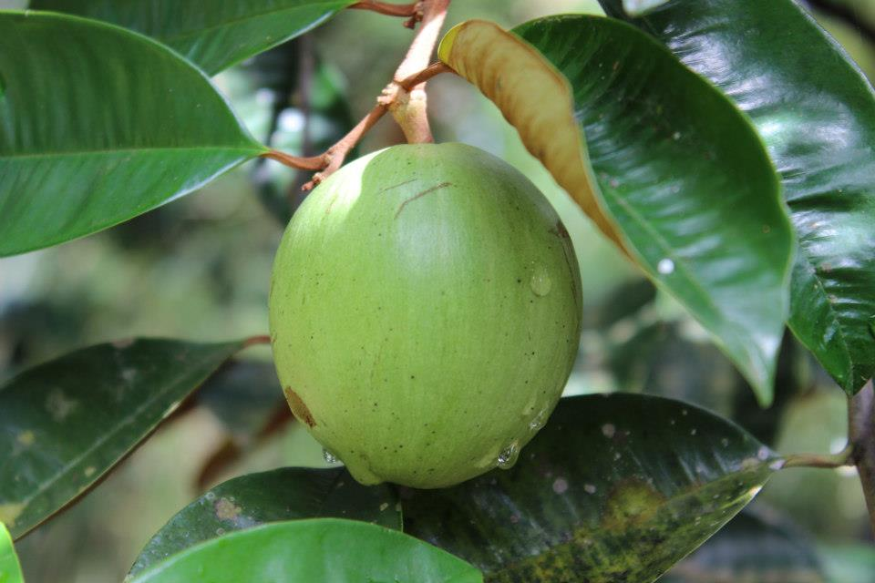 Vú sữa - Star Apple